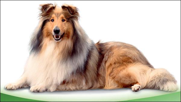 Шелти, фото собаки фотография