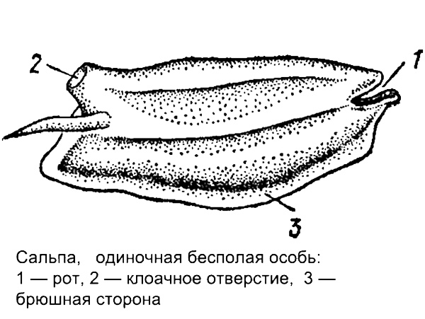 Сальпа, одиночная бесполая особь, рисунок картинка плавающие морские животные