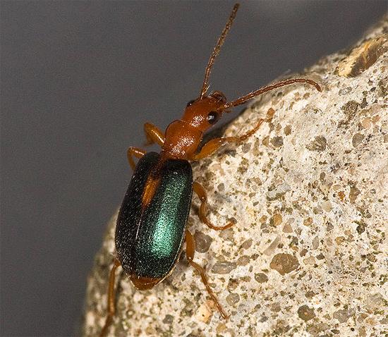 Жук-бомбардир (Brachinus sclopeta), фото насекомые фотография