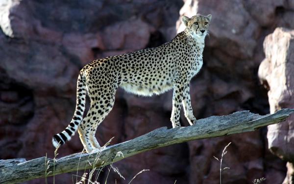 Гепард (Acinonyx jubatus), фото фотография дикие кошки