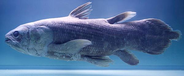 Латимерия (Latimeria chalumnae), фото рыбы фотография