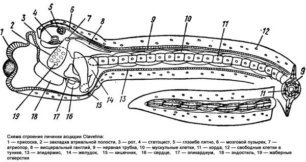 Схема строения личинки асцидии Ctavelina, черно белый рисунок картинка
