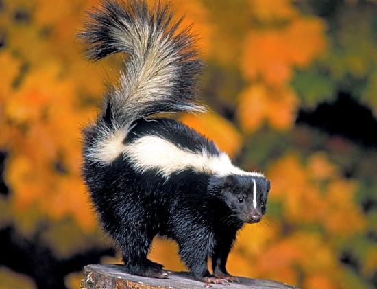 Скунс, фото куньи хищники фотография картинка