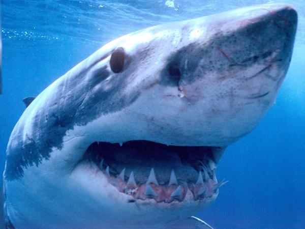 Белая акула, или акула-людоед (Carcharodon carcharias), фото ядовитые рыбы акулы фотография