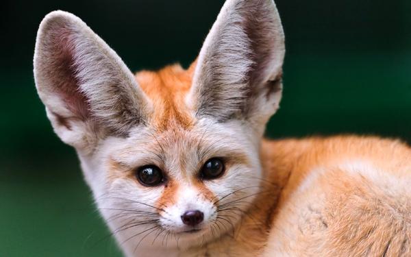 Фенек (Vulpes zerda), фото лисы животные фотография картинка
