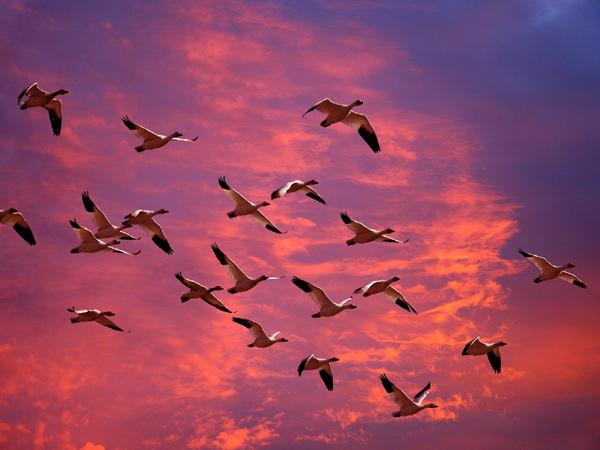 Летящая стая гусей, фото птицы фотография картинка