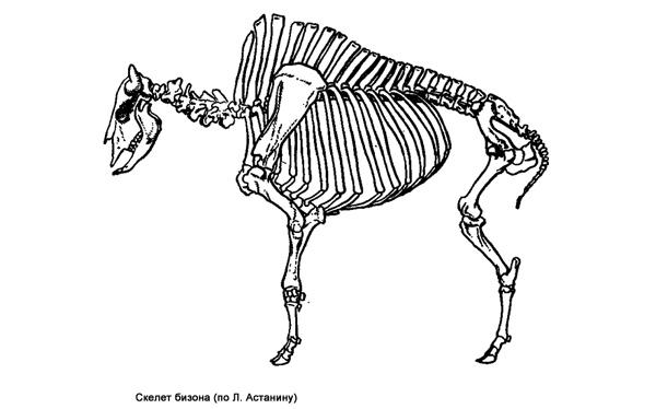 Скелет бизона (Bison bison), черно белая картинка рисунок изображение
