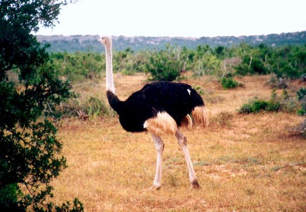 Самая крупная птица в мире - страус (Struthio camelus), фото птицы фотография