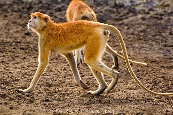 Мартышка-гусар (Erythrocebus patas), фото приматы фотография картинка
