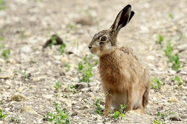 Капский заяц (Lepus capensis), фото зайцеобразные животные фотография картинка