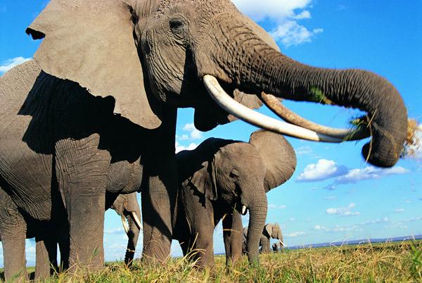 Африканский слон (Loxodonta africana), фото хоботные животные фотография картинка