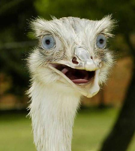 Африканский страус (Struthio camelus), фото птицы фотография картинка