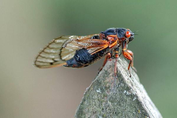 17-летняя цикада (Magicicada septendecim), фото насекомые фотография картинка