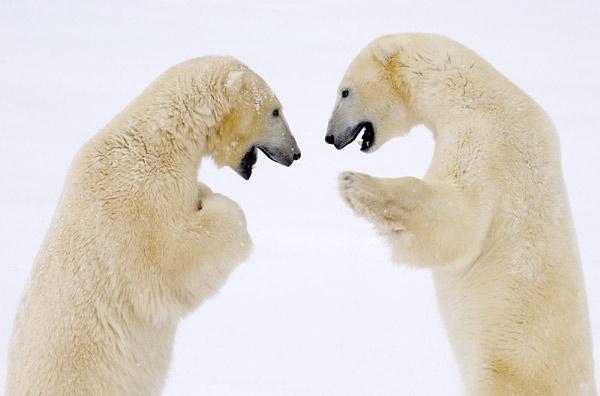 Белые, или полярные медведи (Ursus maritimus), фото хищные животные Арктики фотография картинка