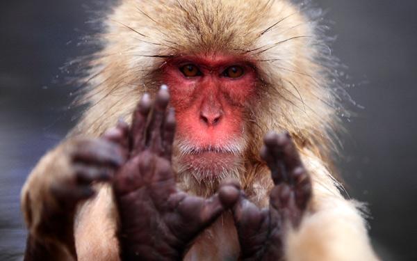 Японский макак (Macaca fuscata), фото приматы фотография картинка