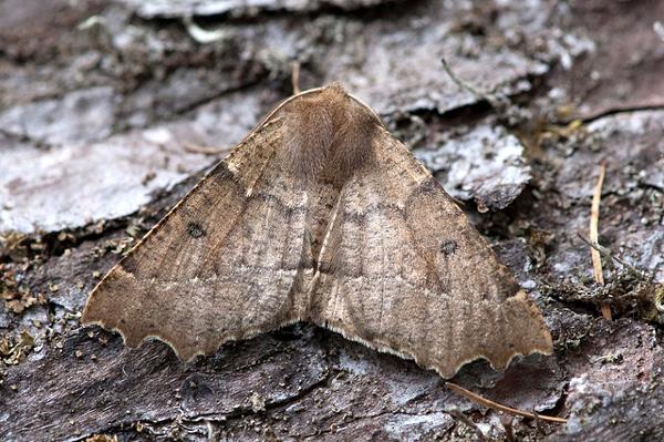 Пяденица зубцекрылая (Odontopera bidentata), фото бабочки насекомые фотография картинка