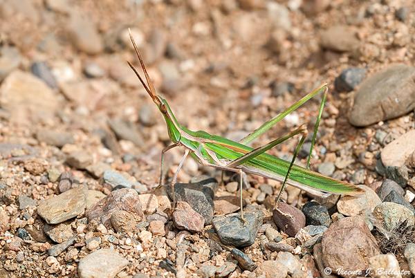 Носатая кобылка (Acrida turrita), фото насекомые фотография картинка