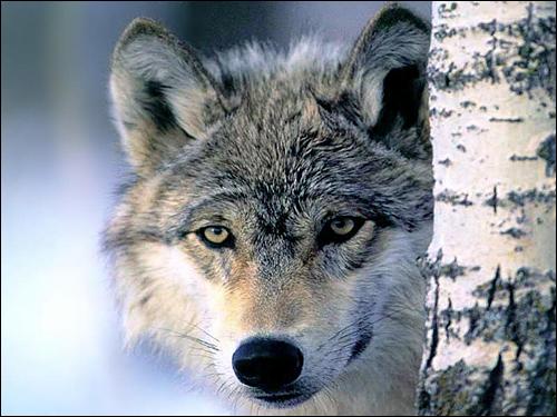Серый волк (Canis lupus). Фото, фотография картинка хищные звери