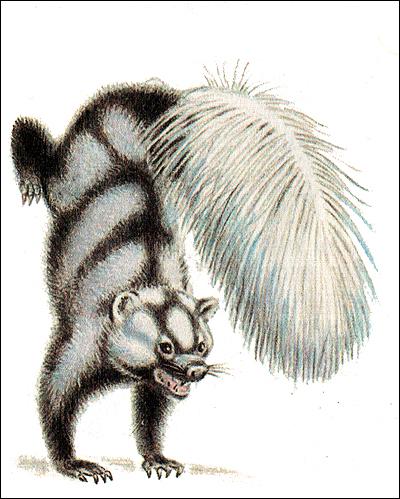Полосатый скунс в оборонительной позе (Mephitis mephitis). Рисунок, картинка хищные звери