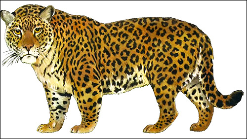 Ягуар (Panthera onca). Рисунок, картинка животные