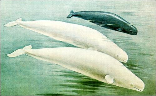 Белуха (Delphinapterus leucas). Картинка, рисунок киты