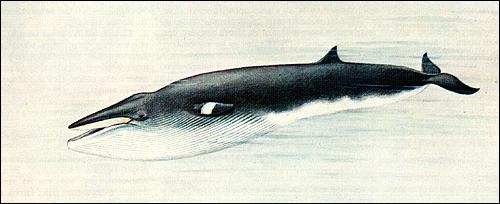 Малый полосатик (Balaenoptera acutorostrata). Рисунок, картинка киты