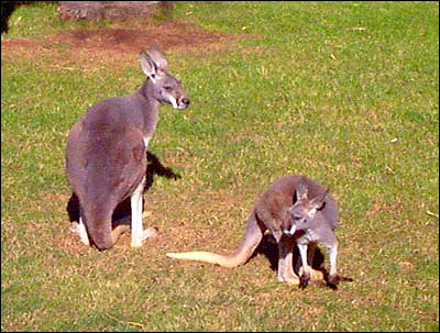 Большой рыжий кенгуру (Macropus rufus). Фото, фотография картинка сумчатые животные