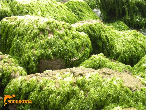 Зеленые водоросли, растущие на камнях. Фото, фотография картинка