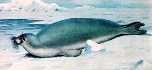 Морской заяц, лахтак (Erignatus barbatus). Рисунок, картинка ластоногие животные