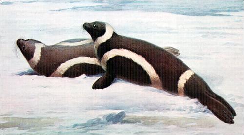 Полосатый тюлень, крылатка (Histriophoca fasciata). Фото, фотография ластоногие животные