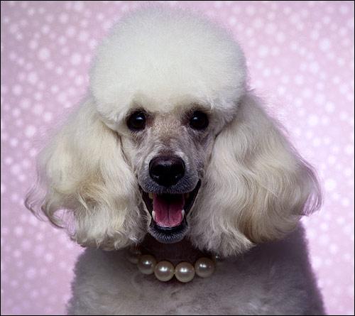 Белый пудель, Фото фотография собаки картинка