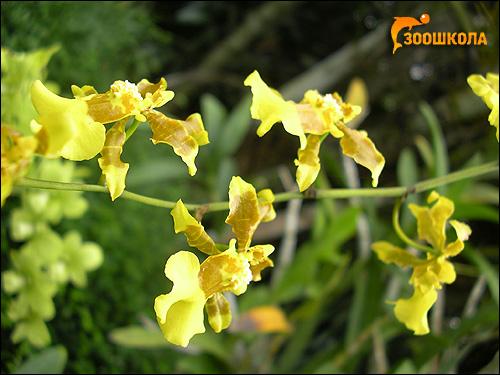 Желтые орхидеи. Парк орхидей о. Бали. Фото, фотография картинка цветы