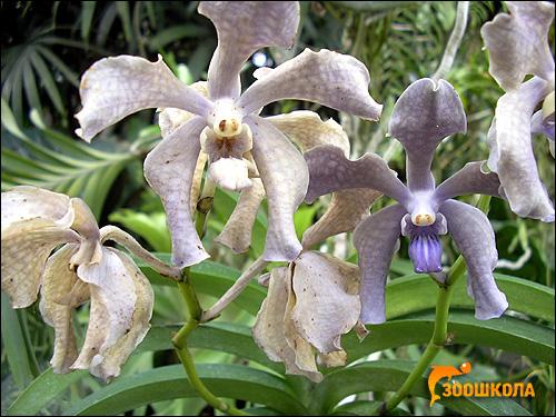 Орхидеи. Парк орхидей о. Бали. Фото, фотография картинка цветы