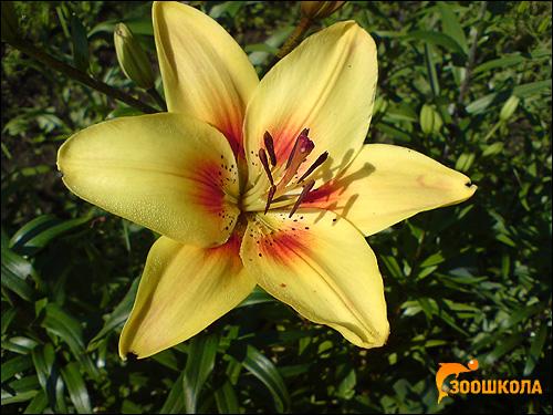 Тигровая лилия (Lilium tigrinum). Фото, фотография картинка цветы