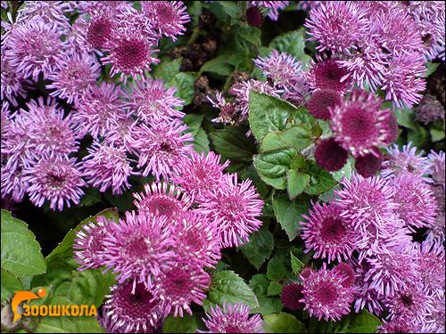 Хризантемы. Фото, фотография цветы