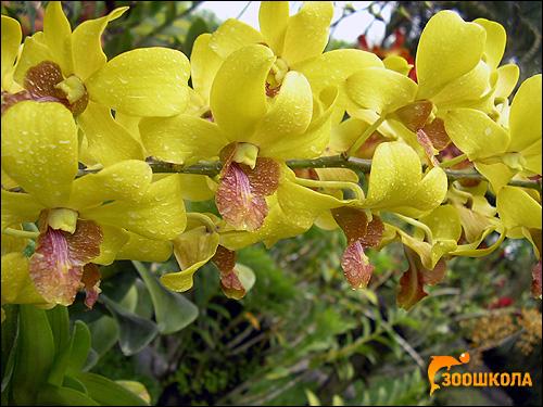 Желтые орхидеи. Парк орхидей о. Бали. Фото, фотография цветы