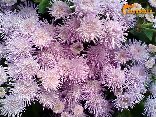 Сиреневые хризантемы. Фото, фотография цветы картинка