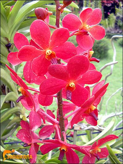 Ярко-красная орхидея. Парк орхидей о. Бали. Фото, фотография цветы