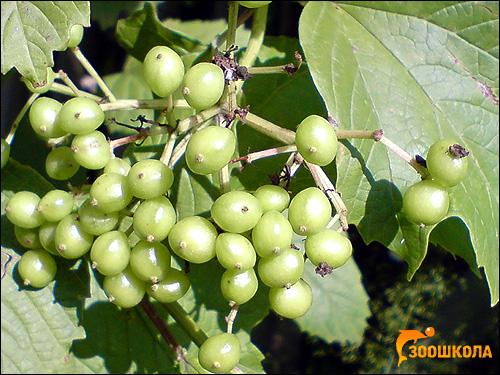 Зеленые плоды какого-то кустарника. Фото, фотография растения