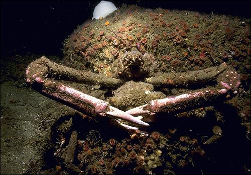 Морской краб. Фото, фотография