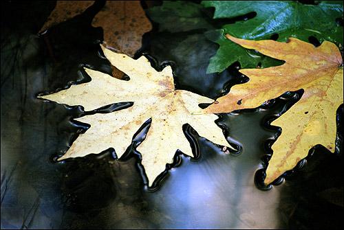 Осенние листья клена плавают на поверхности воды. Фото, фотография