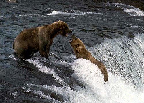 Медведи купаются в воде. Фото, фотография картинка животные