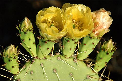 Цветок кактуса. Фото, фотография