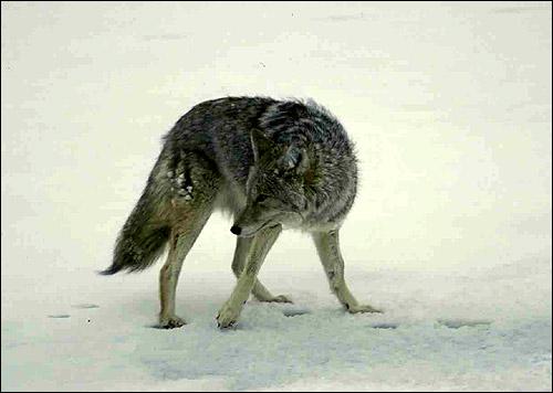 Серый волк (Canis lupus). Фото, фотография животные хищники