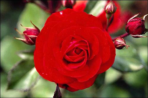 Ярко-розовая роза. Фото, фотография