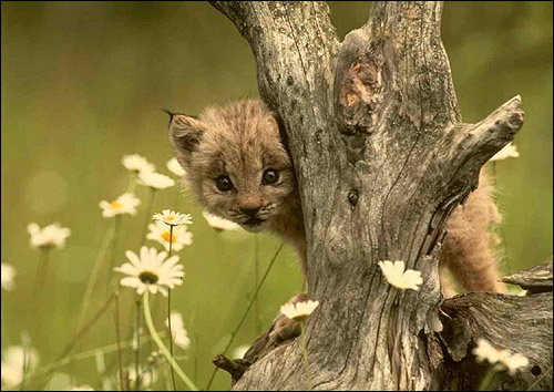 Котенок дикой кошки. Фото, фотография