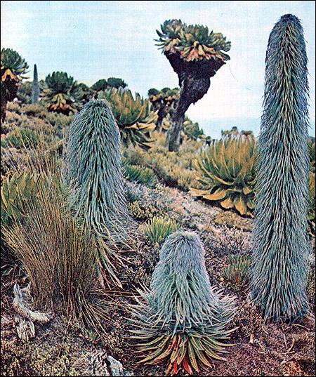 Африка. Местные растения. Фото, фотография