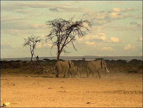 Африка. Слоны. Фото, фотография