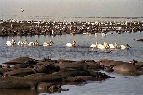 Африка. Стадо бегемотов в воде. Стая белых пеликанов. Фото, фотография