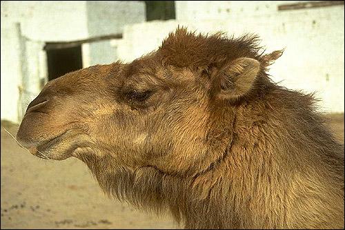Верблюд (Camelus). Фото, фотография